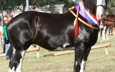 our-shires-pearl-2